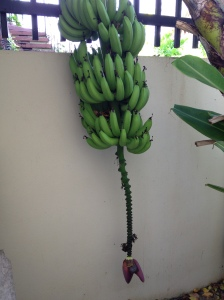 Complete with bananas growing on our patio!