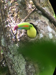 A Rainbow-billed Toucan with a nest in a tree