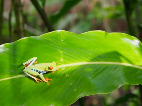 The Red-eyed Tree Frog is always willing to pose for a photo