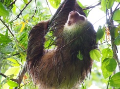 A very wet sloth after a rain storm