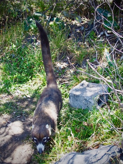 A coati! A cute relative of the raccoon.